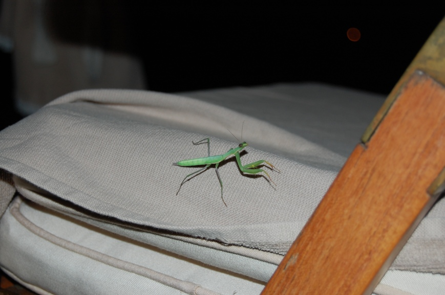 Praying Mantis, Italy - Emma's Picture Postcards