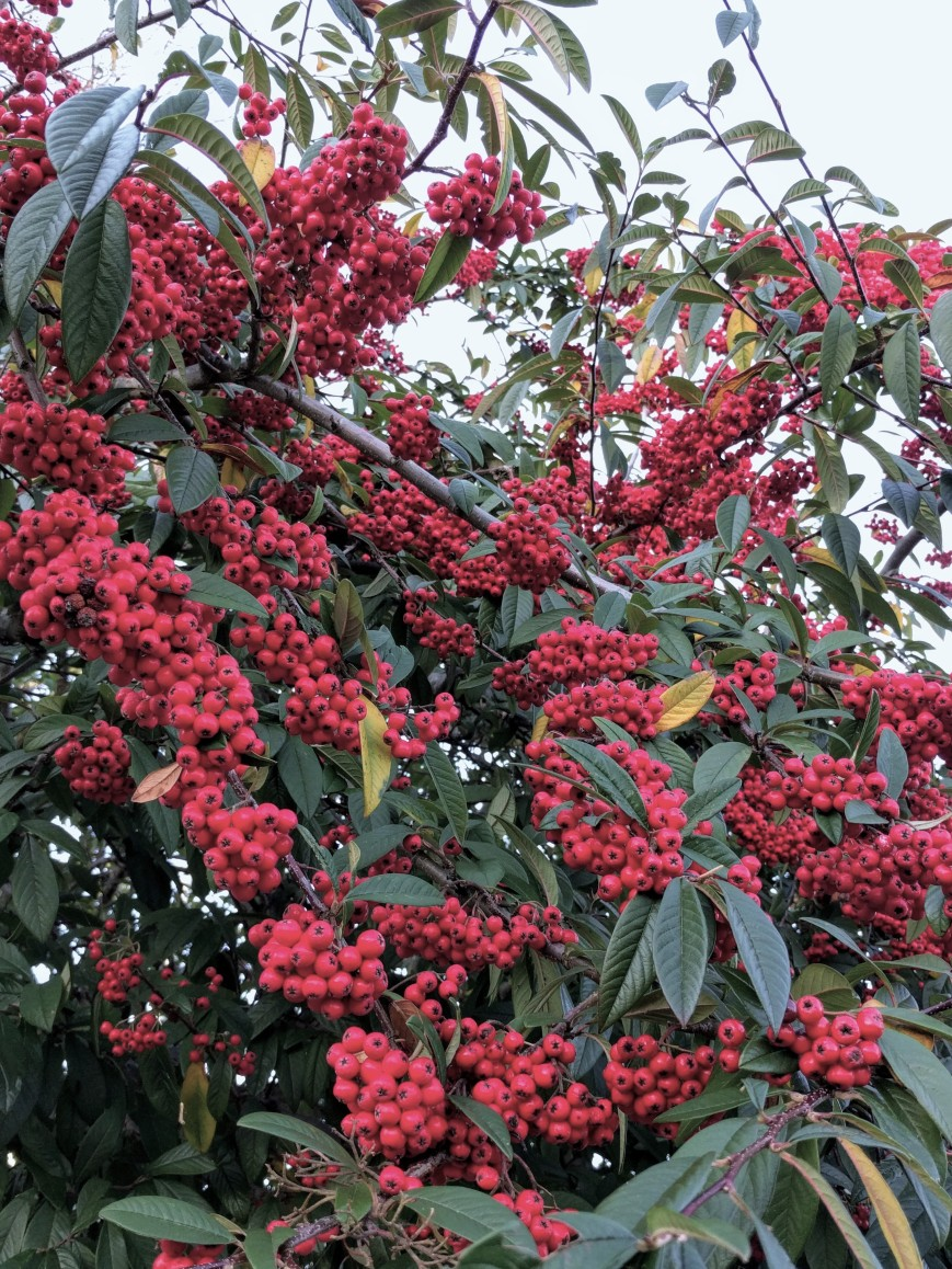 Winter Berries - Emma's Picture Postcards